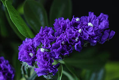 Photograph - Purple Everlasting Flower - Midnight Blue by Cristina Stefan
