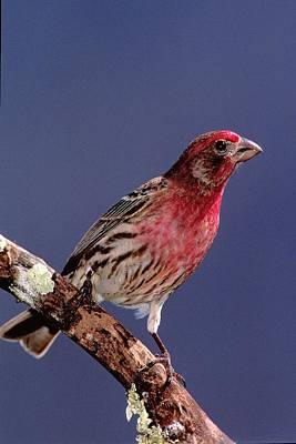 Purple Finch Original