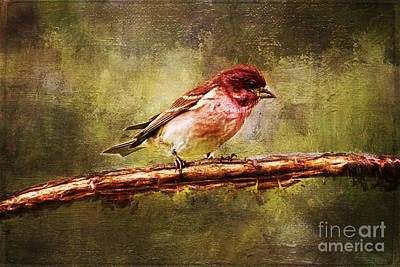 Painting - Purple Finch In Cherry Tree  by Christina VanGinkel