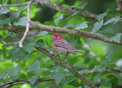Photograph - Purple Finch by Ronda Ryan