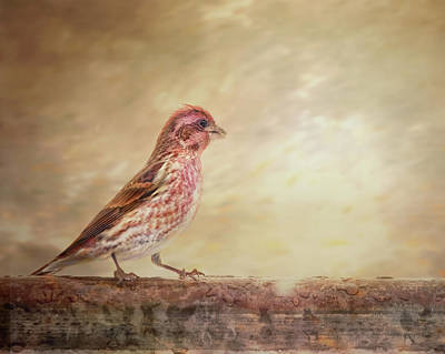 Photograph - Purple Finch Walks The Line by Susan Capuano