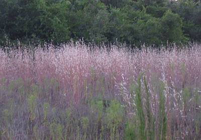 Photograph - Purple Florida Grass Horizontal by Brenda Berdnik