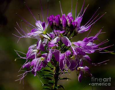 Photograph - Purple Flower 1 by Christy Garavetto