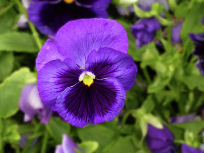 Photograph - Purple Flower by Alan Socolik