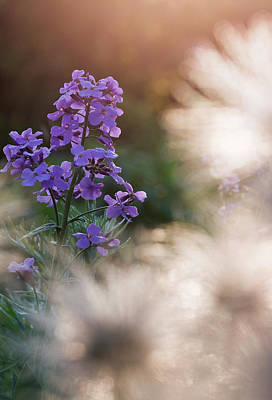 Flora Photograph - Purple Flower In Sunlight by Lise-Lotte Larsson