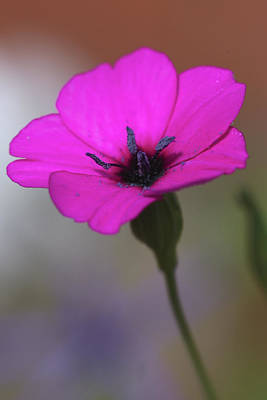 Photograph - Purple Cranesbill Flower by Paul Cowan