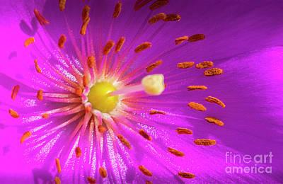 Photograph - Purple Flower Pistol Center by David Zanzinger