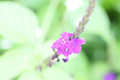 Photograph - Purple Flower by Unicia Buster