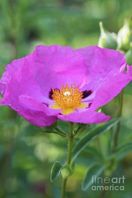 Deep Purple Photograph - Purple Flowered Rock Rose  by Tim Gainey