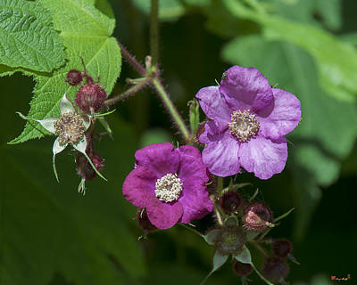 Photograph - Purple-flowering Raspberry Dsmf0222 by Gerry Gantt