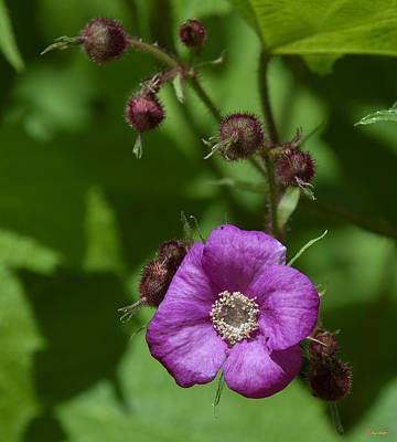 Photograph - Purple-flowering Raspberry Dsmf0224 by Gerry Gantt