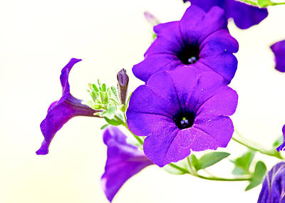 Purple Flowers On Light Background Art Print by Edward Myers