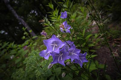 Digital Art - Blue Bellflowers by Patrick Groleau
