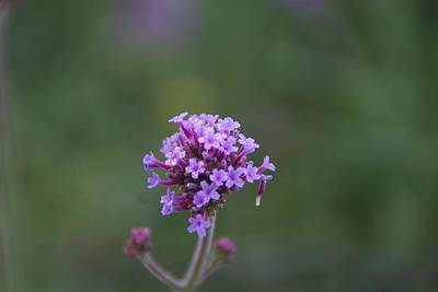 Photograph - Purple Flowers by Toni Berry