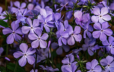 Photograph - Purple Flox  by John Harding