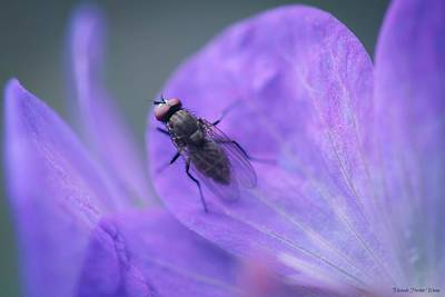 Photograph - Purple Fly by Michaela Preston