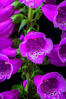 Purple Foxglove Art Print by Garry Gay