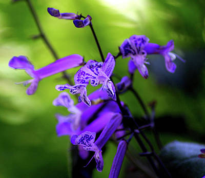 Photograph - Purple Freckles by Debi Demetrion
