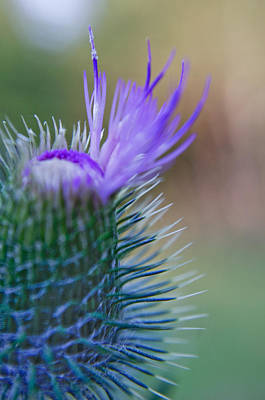 Photograph - Purple Fringe by Adria Trail