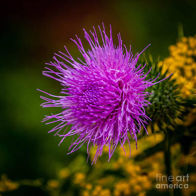 Photograph - Purple Fringe by Grace Grogan