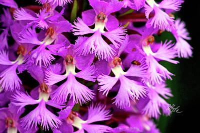 Photograph - Purple Fringed Orchid Closeup by Meta Gatschenberger