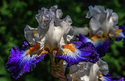 Photograph - Purple Fringed White Iris by Jim Moore