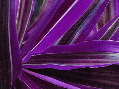 Photograph - Purple Fronds by Carolyn Jacob