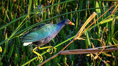 Photograph - Purple Gallinule Green Cay Boynton Beach Florida by Lawrence S Richardson Jr