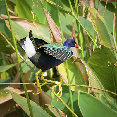 Photograph - Purple Gallinule IIi by Dawn Currie