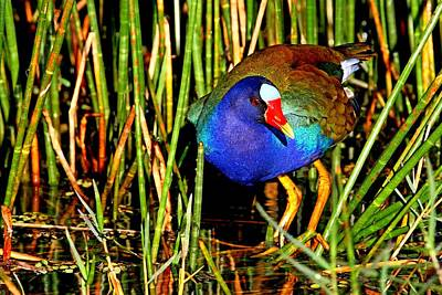 Photograph - Purple Gallinule In The Reeds by Ira Runyan