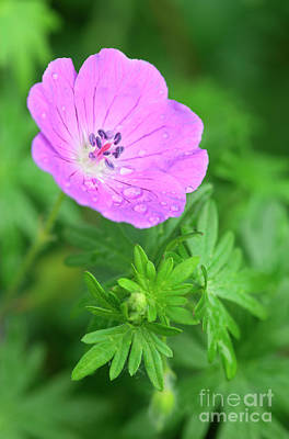 Macro Geranium Flower Photograph - Purple Geranium Flower by Neil Overy