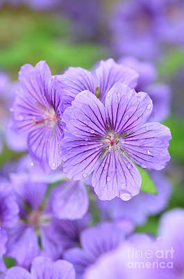 Macro Geranium Flower Photograph - Purple Geranium by Neil Overy