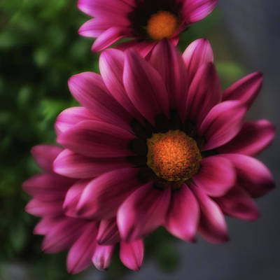 Photograph - Purple Glow Flower by Ron White