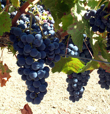 Photograph - Purple Grapes On Vine by Bonnie Muir