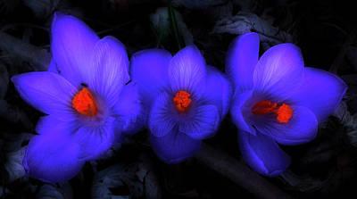 Beautiful Blue Purple Spring Crocus Blooms Art Print by Shelley Neff