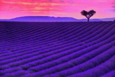 Lavender Field Photograph - Purple Heart by Midori Chan