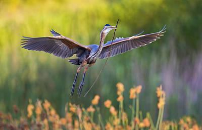 Purple Heron Original by Basie Van Zyl