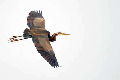 Purple Heron In Flight Art Print