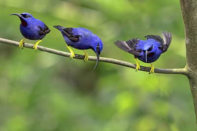 Photograph - Purple Honeycreeper Party by Nadia Sanowar