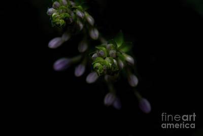 Photograph - Purple Hosta Budding Duo - Macro by Adrian DeLeon