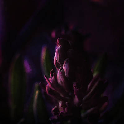 Photograph - Purple Hyacinth Sunset by Susan Capuano