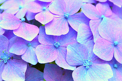 Photograph - Purple Hydrangeas by Brian O'Kelly