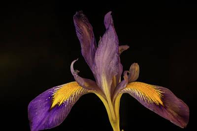 Photograph - Purple Iris 1 by Douglas Barnett