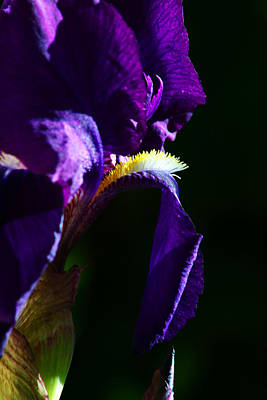 Photograph - Purple Iris 2 by Anthony Jones