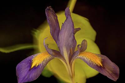 Photograph - Purple Iris 2 by Douglas Barnett