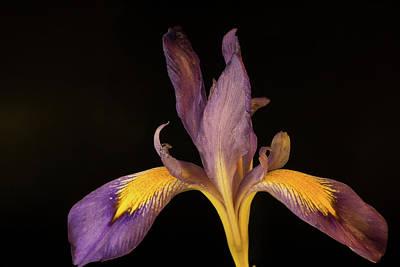 Photograph - Purple Iris 3 by Douglas Barnett