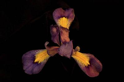 Photograph - Purple Iris 5 by Douglas Barnett