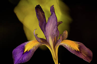 Photograph - Purple Iris 6 by Douglas Barnett