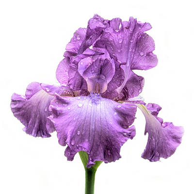 Photograph - Purple Iris After The Rain by David and Carol Kelly