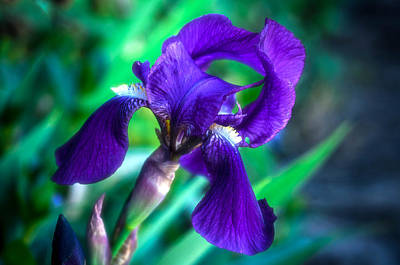 Photograph - Purple Iris by Connie Cooper-Edwards